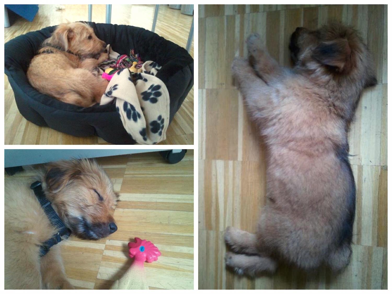 So klein und schon Bürohund! (c)dogtome | www.dogtome.at